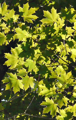 Acer platanoides, Norway Maple
