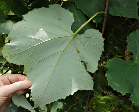 leaves of grape-like species: Vitis aestivalis var. bicolor, Vitis aestivalis var. bicolor, Vitis aestivalis var. argentifolia