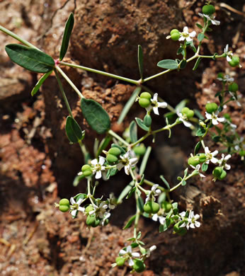 image of Euphorbia pubentissima, False Flowering Spurge, Southeastern Flowering Spurge, Southern Flowering Spurge