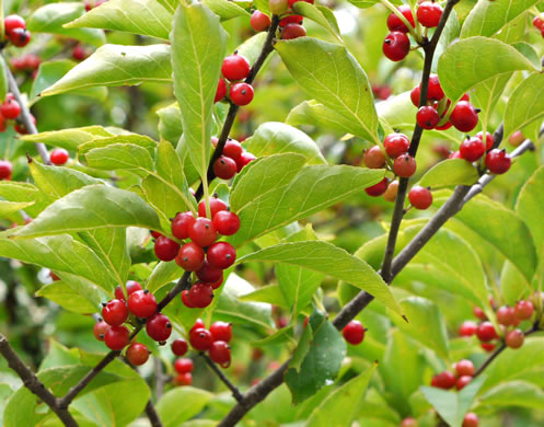 image of Ilex montana, Mountain Holly, Mountain Winterberry