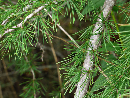 conifers (not including Pines): Larix laricina, Larix laricina, -