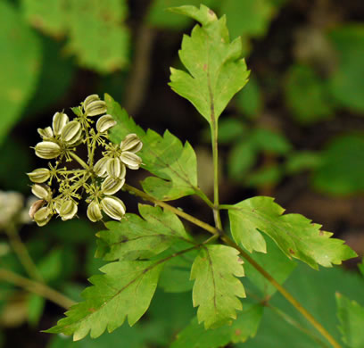 image of Thaspium barbinode, Hairy-jointed Meadow Parsnip