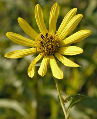 image of Helianthus giganteus, Tall Sunflower, Swamp Sunflower, Tuberous Sunflower