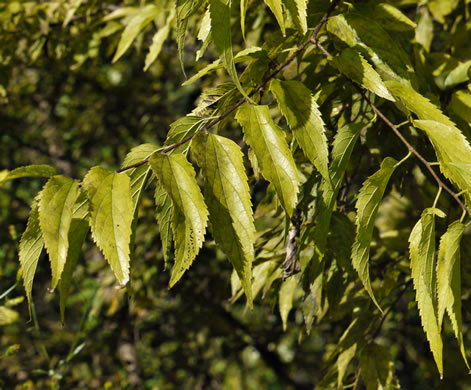 image of Celtis smallii, Small's Hackberry