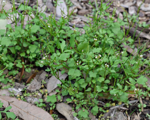 image of Cardamine flexuosa, Woodland Bittercress