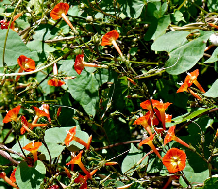 image of Ipomoea coccinea, Small Red Morning Glory, Scarlet Creeper