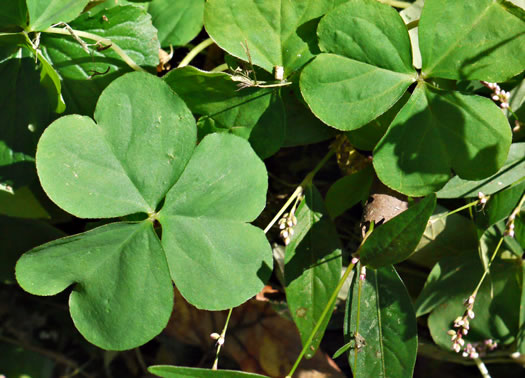 image of Oxalis articulata, windowbox wood-sorrel