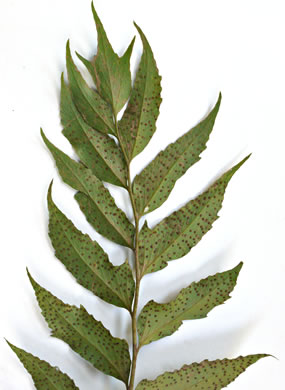 image of Cyrtomium falcatum, Japanese Holly Fern, Asian Net-veined Holly Fern