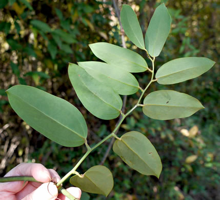 image of Smilax laurifolia
