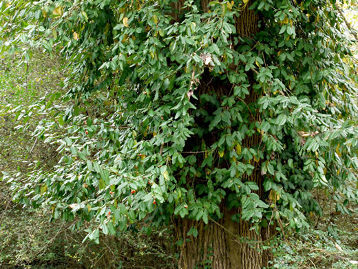 image of Euonymus fortunei, Wintercreeper, Climbing Euonymus, Chinese Spindle-tree