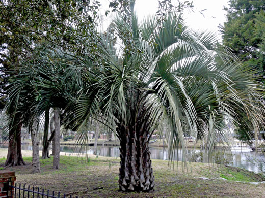 image of Butia odorata, Pindo Palm, South American Jelly Palm, Brazilian Butia