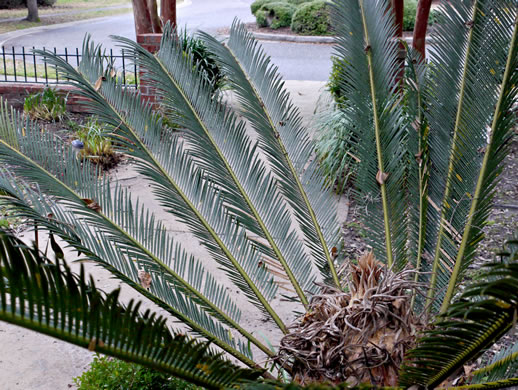image of Cycas revoluta, Sago-palm