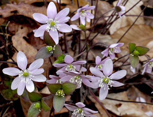 image of Anemone acutiloba, Sharp-lobed Hepatica, Sharp-lobed Liverleaf