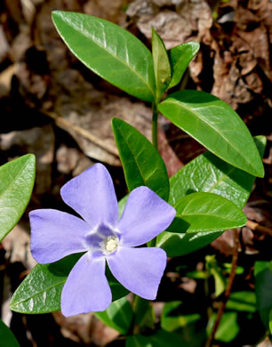 flower of Vinca minor, Common Periwinkle