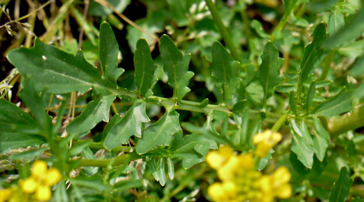 leaf or frond of Barbarea verna, Early Winter-cress, Creasy