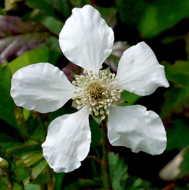 flower of Rubus trivialis, Southern Dewberry, Coastal Plain Dewberry