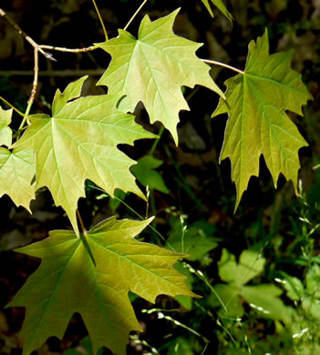 image of Acer saccharum, Sugar Maple, Hard Maple, Sugar Tree
