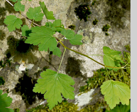 image of Ribes cynosbati, Prickly Gooseberry, Dogberry