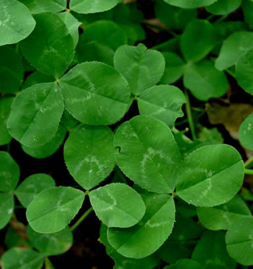 leaves that are trifoliolate and palmately compound: Trifolium repens, Trifolium repens, Trifolium repens