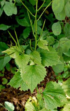 image of Alliaria petiolata, Garlic Mustard, Hedge Garlic