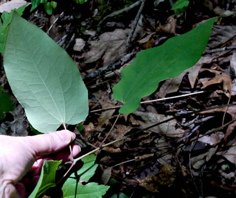 image of Smilax biltmoreana, Biltmore Carrionflower