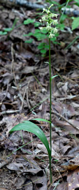 leaf or frond of Platanthera clavellata, Small Green Wood Orchid, Club-spur Orchid, Woodland Orchid, Streamhead Orchid
