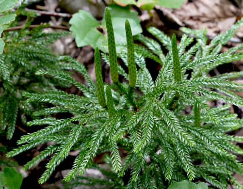 image of Dendrolycopodium obscurum, Common Ground-pine, Flat-branched Tree-clubmoss
