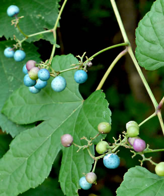 image of Ampelopsis glandulosa, Porcelain-berry, Amur Peppervine