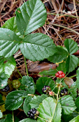 Rubus hispidus, Swamp Dewberry