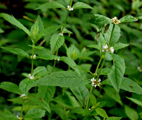 image of Lycopus virginicus, Virginia Bugleweed