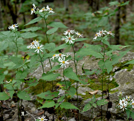 image of Eurybia chlorolepis, Blue Ridge White Heart-leaved Aster