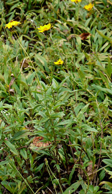 image of Coreopsis pubescens +, Hairy Coreopsis, Star Tickseed