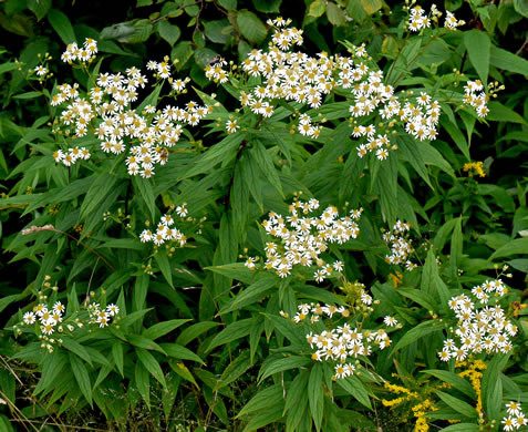 rhizome: Doellingeria umbellata, Tall Flat-top White Aster, Tall Whitetop Aster, Tall Flat-top Aster