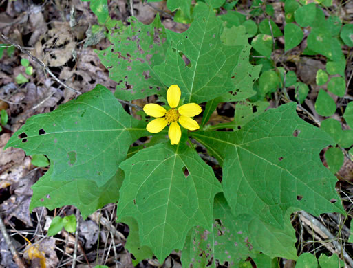 image of Smallanthus uvedalia, Bearsfoot, Hairy Leafcup, Yellow Leafcup