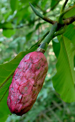 fruit of Magnolia tripetala, Umbrella Magnolia, Umbrella-tree