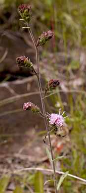 image of Liatris scariosa var. scariosa, Northern Blazing-star