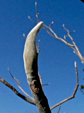 sepals or bracts of Magnolia ashei, Ashe's Magnolia