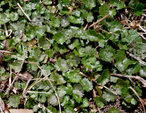 awn: Hydrocotyle sibthorpioides, Lawn Water-pennywort