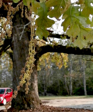 catkin: Quercus stellata, Post Oak