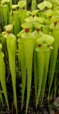 Sarracenia flava, Yellow Pitcherplant, Yellow Trumpet, Trumpets