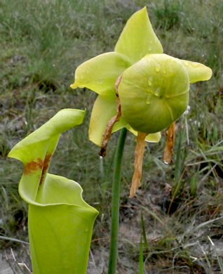 image of Sarracenia flava, Yellow Pitcherplant, Yellow Trumpet, Trumpets
