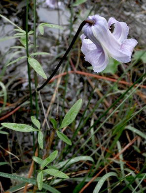 image of Clematis crispa, Southern Leatherflower, Marsh Clematis