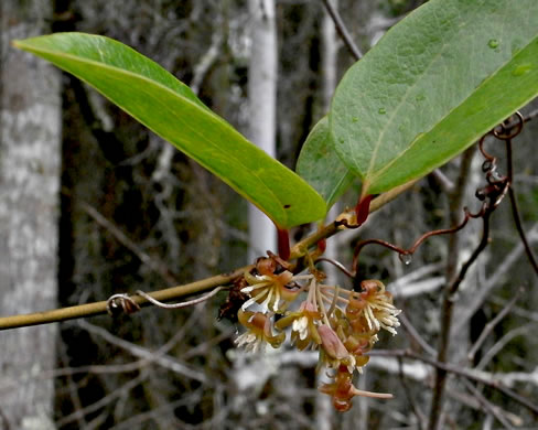 image of Smilax walteri, Coral Greenbrier, Red-berried Swamp Smilax