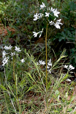image of Amsonia ciliata, Sandhills Bluestar, Fringed Bluestar