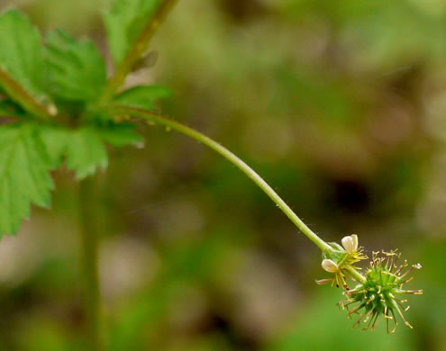 fruit of Galium, Geum and Sanicula species: Geum vernum, Geum vernum, Geum vernum