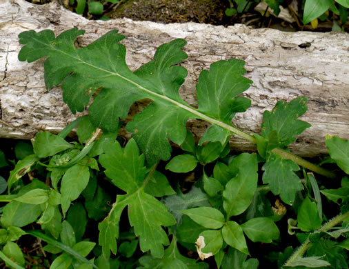image of Hydrophyllum macrophyllum, Hairy Waterleaf, Largeleaf Waterleaf