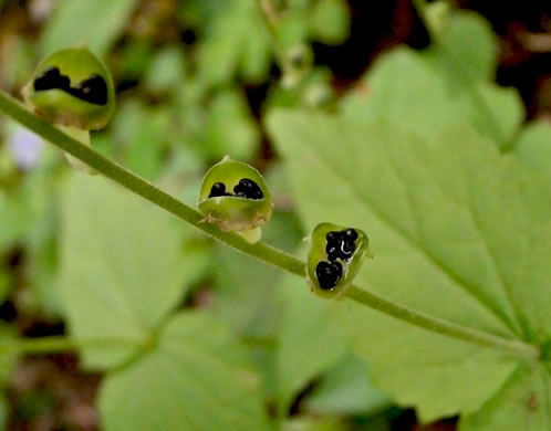 image of Mitella diphylla, Two-leaved Miterwort, Bishop's Cap