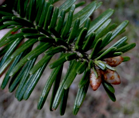 image of Abies fraseri