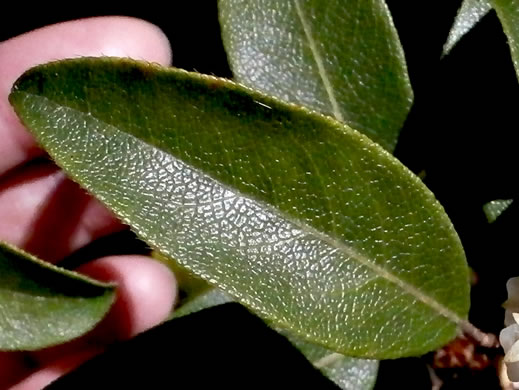 leaf or frond of Pieris floribunda, Evergreen Mountain Fetterbush, Mountain Andromeda