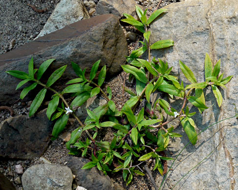 image of Diodia virginiana, Virginia Buttonweed